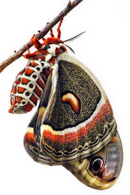Lepidoptera - Cecropia Moth Print by Christina Rollo