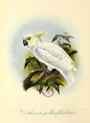 Cockatoo Painting - Lesser Cockatoo by J G Keulemans