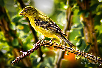 Lesser Goldfinch Print by Robert Bales