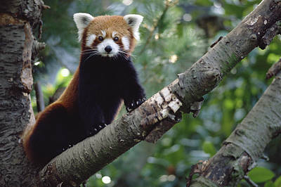 Cute Tree Images Photograph - Lesser Panda China by Gerry Ellis