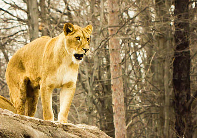 Lion Photograph - Let It Roar by Sara Frank