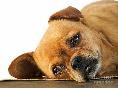 Lethargy Of Doggy  Print by Sinisa Botas