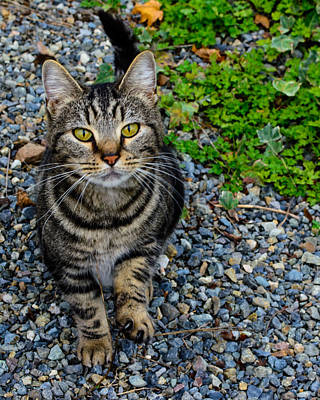Gray Tabby Photograph - Let's Be Friends by Tikvah's Hope