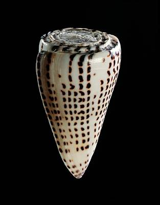 Lettered Cone Shell Print by Gilles Mermet