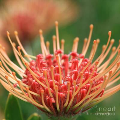 Pincushion Photograph - Leucospermum Pincushion Protea Flower - Tropical Sunburst - Hawaii by Sharon Mau