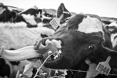 Cow Photograph - Licking The Picture Frame by Priya Ghose