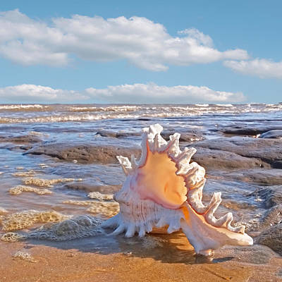Ram Horn Photograph - Life's A Beach - Murex Ramosus Seashell - Square by Gill Billington
