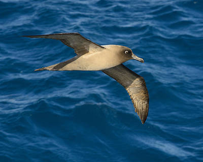 Drake Photograph - Light-mantled Sooty Albatross by Tony Beck