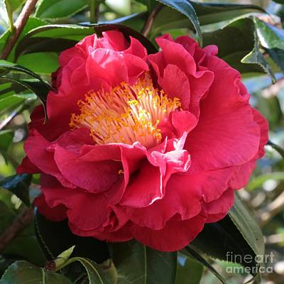 Camellia Photograph - Light On Camellia Square by Carol Groenen