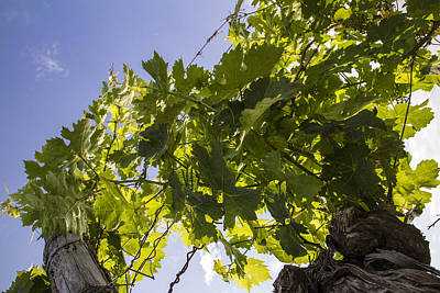 Grapevine Photograph - Light On The Vines by Georgia Fowler