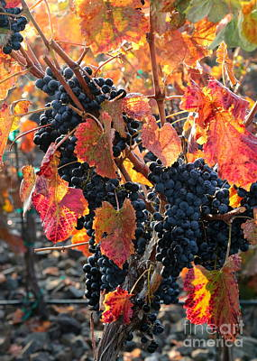 Light Through Fall Vineyard Print by Carol Groenen