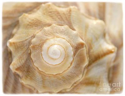 Lightning Whelk Print by Cindi Ressler