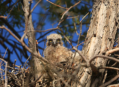 Owlet Photograph - Lil Hoot by Donna Kennedy