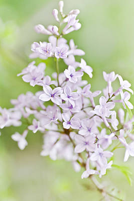 Violet Photograph - Lilac Blossoms by Frank Tschakert