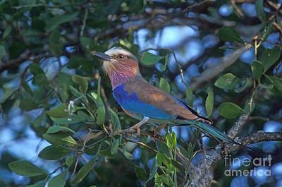 Lilac-breasted Roller Print by Ron Sanford