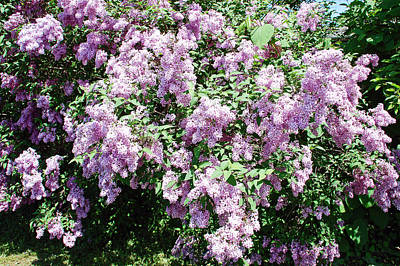 Florals Photograph - Lilac Bushes by Aimee L Maher Photography and Art Visit ALMGallerydotcom