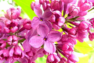 Lilac Closeup Print by The Creative Minds Art and Photography
