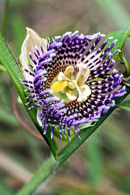 Passionflower Photograph - Lilikoi Flower by Dan McManus