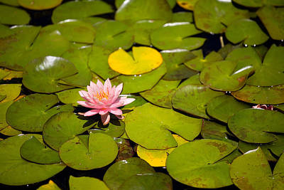 Lilly Pads Photograph - Lilly Pond Pink by Peter Tellone