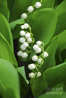 Seasonal Photograph - Lily-of-the-valley  by Elena Elisseeva