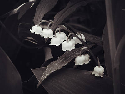 Canada Photograph - Lily Of The Valley by Zinvolle Art