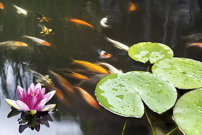 Lily Pad Pink Flower In Koi Pond Print by JPLDesigns