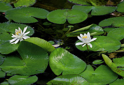 Lily Pads And Blossoms Print by Rich Franco