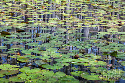 Lily Pads And Cypress Reflections Print by Susan Cole Kelly