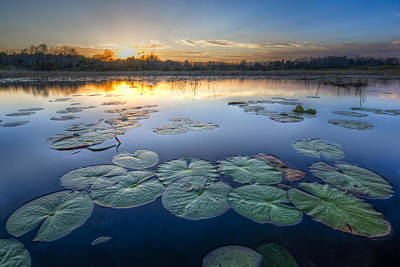 Lily Pads In The Glades Print by Debra and Dave Vanderlaan