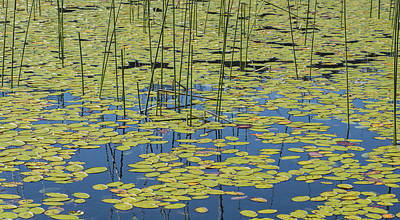 California Photograph - Lily Pads N Reeds by Loree Johnson