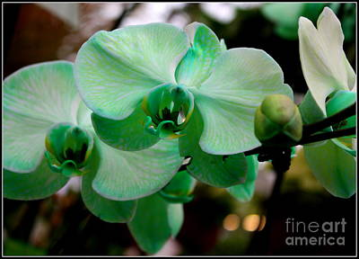Lime Light Orchids Original by Dora Sofia Caputo Photographic Art and Design