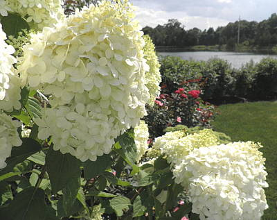 Limelight Hydrangeas And Roses By The Harbor Print by Kate Gallagher