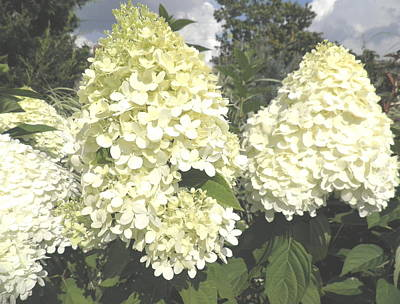 Limelight Hydrangeas Print by Kate Gallagher