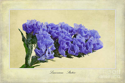 Macro Digital Art - Limonium by John Edwards