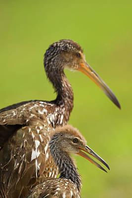 Limpkin Photograph - Limpkin With Chick, Aramus Guarana by Maresa Pryor