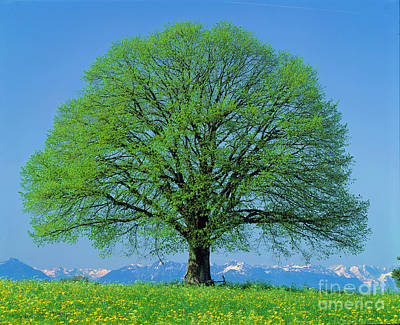 Development Of Life Photograph - Linden Tree In Spring by Hermann Eisenbeiss