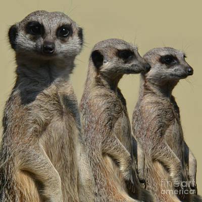 Line Dancing Meerkats Original by Paul Davenport