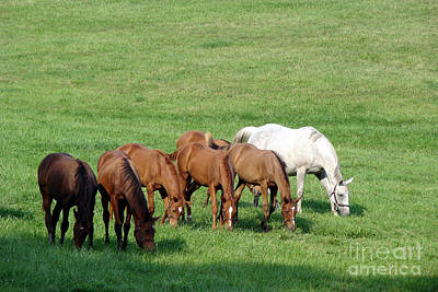 Arabians Photograph - Line Feeding by Olivier Le Queinec