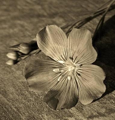Linum Bloom Print by Chris Berry