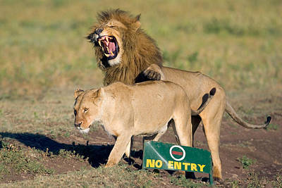 Lion And A Lioness Mating, Ngorongoro Print by Panoramic Images