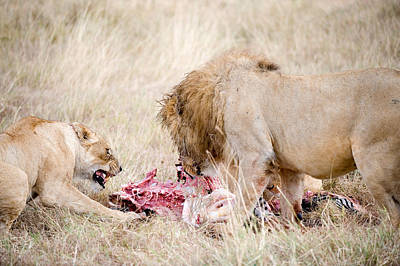 Leo Photograph - Lion And A Lioness Panthera Leo Eating by Panoramic Images