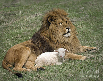 Lion And Lamb Print by Wildlife Fine Art