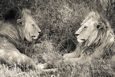 Brotherhood Photograph - Lion Brothers by Chris Scroggins