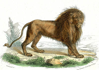 1859 Photograph - Lion by Collection Abecasis