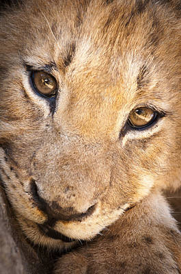 Southafrica Photograph - Lion Cub Portrait No. 1 by Andy-Kim Moeller