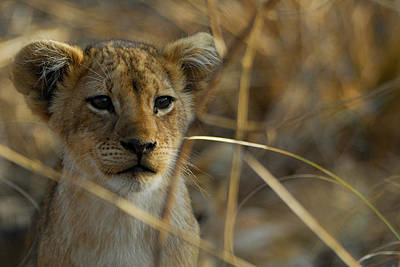 Lion Cub Print by Stefan Carpenter