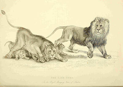 Tower Of London Drawing - Lion Cubs In The Royal Menagery In The Tower Of London by Philip Ralley