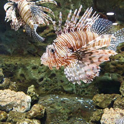Lion Fish Print by Dan Sproul