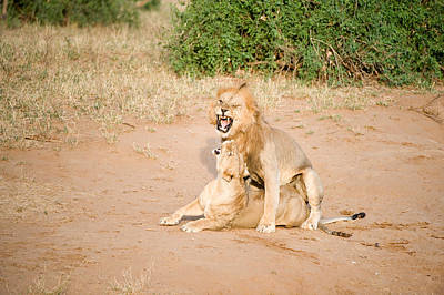 Leo Photograph - Lion Pair Panthera Leo Mating by Panoramic Images