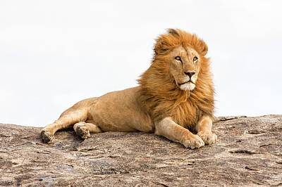 Lion Panthera Leo Print by Photostock-israel